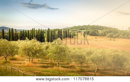 Olive Field In Tuscany
