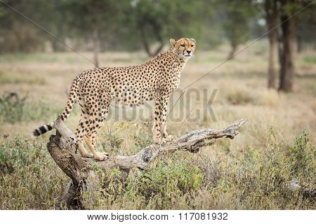 One Adult Female Cheetah Standing On A Dead Log In Ndutu, Serengeti, Tanzania