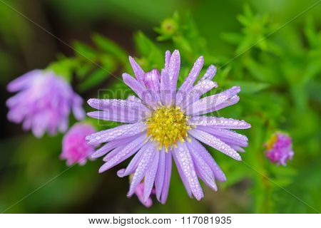 Closeup soft focus of wet daisy with purple extensions and yellow center (Asteraceae) in the garden