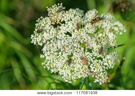 Soft focus of many bugs, insects visiting Queen Anne s Lace white flowers during Summer
