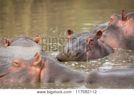 Hippopotamus In The Seronera River In The Serengeti, Tanzania