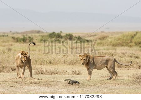 Two Sub Adult Male African Lions Playing With A Monitor Lizard, Serengeti, Tanzania