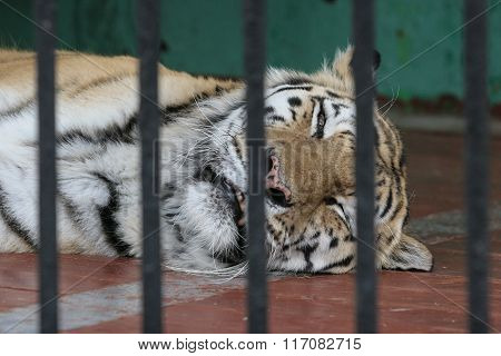 A Tiger In A Cage, Sad Eyes