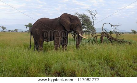 Elephant While Safari In The Serengeti, Tanzania, Africa
