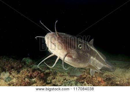 Striped Catfish