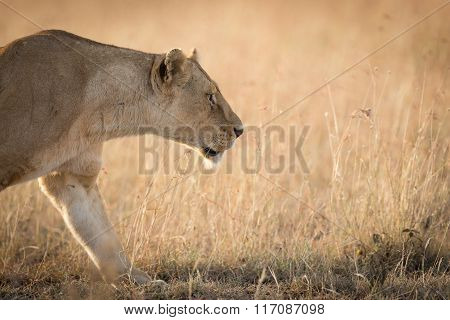 Female African Lioness, Stalking In The Grass In Serengeti, Tanzania