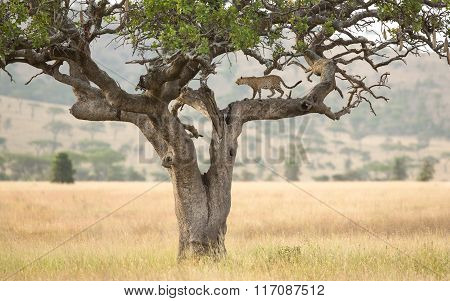 One African Leopard In A Sausage Tree In The Serengeti, Tanzania