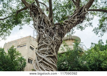 ficus tree in Tel Aviv city Israel