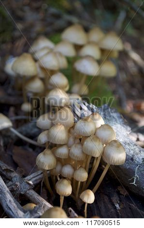 Group Of Poisonous Mushrooms