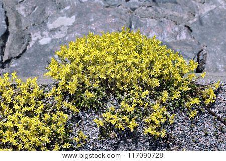Plants Stonecrop Between The Stones