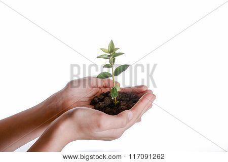Tree Seedling In Handful Soil