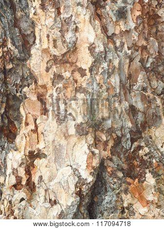 Bark Of Coniferous Tree.