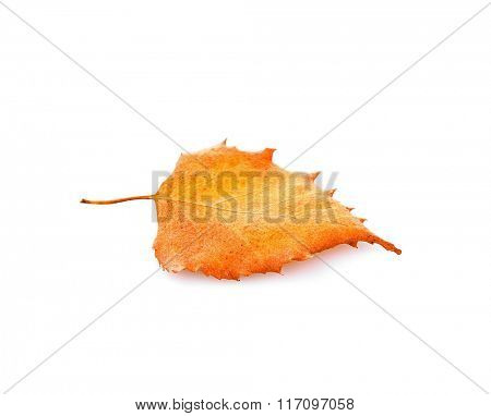 Dry poplar leaf, isolated on white