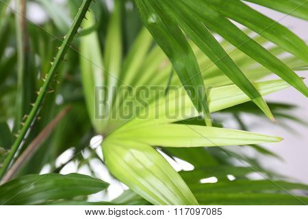 Green palm leaves, closeup