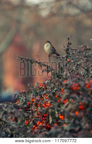 Small sparrow on branch of rowan on blurred background
