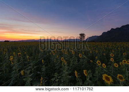 Full bloom sunflower field after sunset