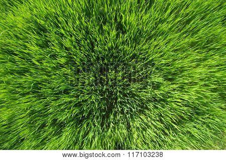 Green grass texture photo taken from above