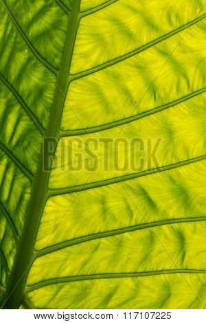 Green Backlit Giant Leaf