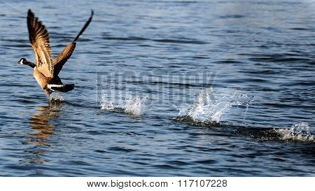 Canada Goose Taking Flight On Water