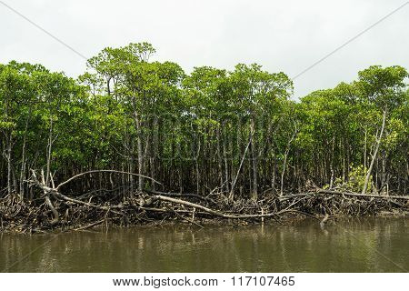 Mangrove Forest of Nakama River