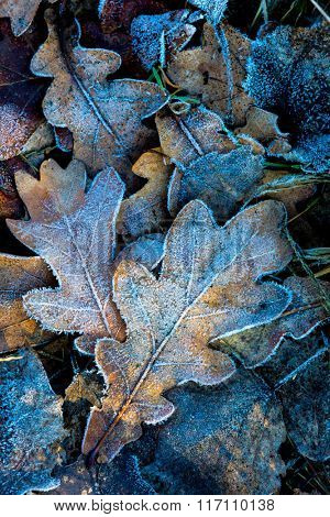 nice autumn oak leafs with frost