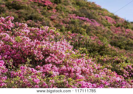 Azalea and hillside