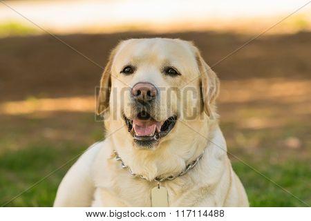 Labrador dog portrait.