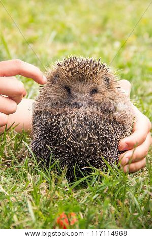 Lively Little Hedgehog In The Children's Hands In A Meadow