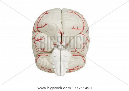 Back View Brain Model Isolated