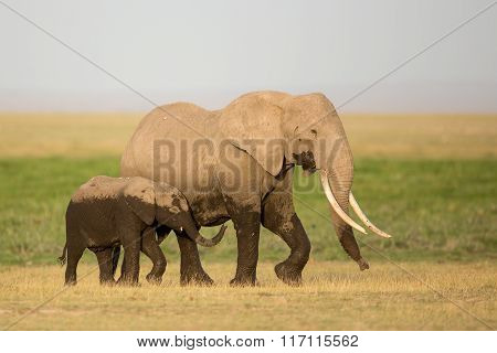 African Elephant Mother And Calf, Amboseli, Kenya