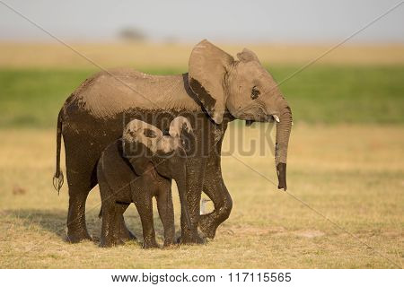Two Young Elephants, Amboseli, Kenya