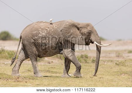 One African Elephant In Amboseli, Kenya