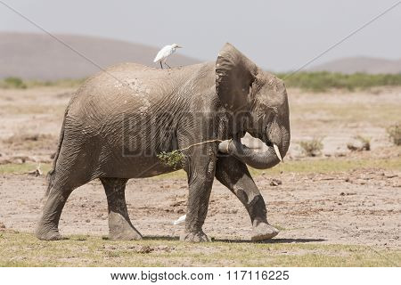 One African Elephant Walking With A Cattle Egret On Its Back, Amboseli, Kenya