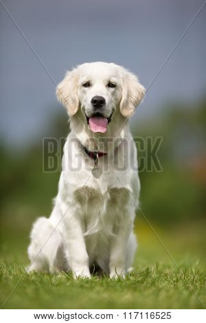 Happy And Smiling Golden Retriever Dog