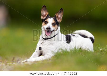 Happy And Smiling Danish Swedish Farm Dog