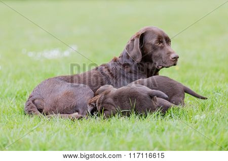 Brown Labrador Retriever Mother With Her Litter Of Puppies