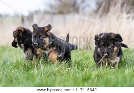 Three German Shepherd Puppies Playing