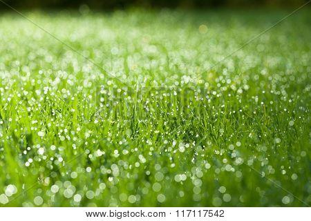 Closeup Of Green Wet Grass