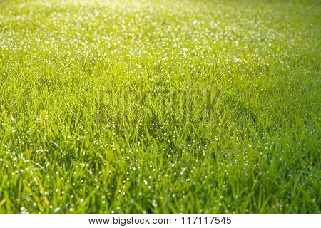 Wet Grass Field With Dew Drops