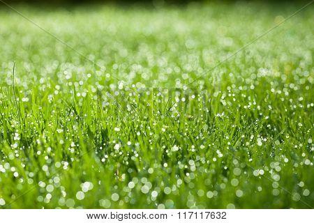 Extreme Closeup Of Green Wet Grass