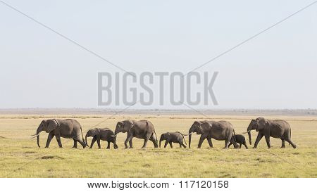 A Line Of African Elephants Walking Through Amboseli In Kenya