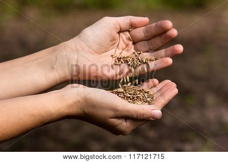 Hands Pouring Rye Grains