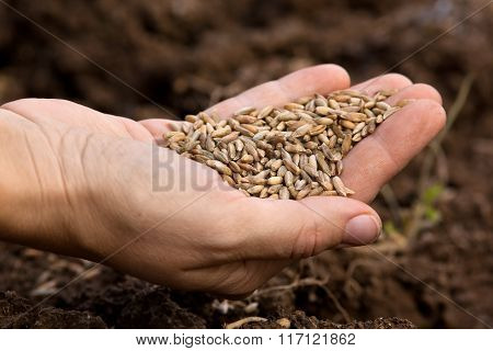 Ripe Rye Grains In Woman Hand
