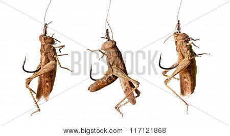 Set Of Fishing Hooks With Grasshoppers