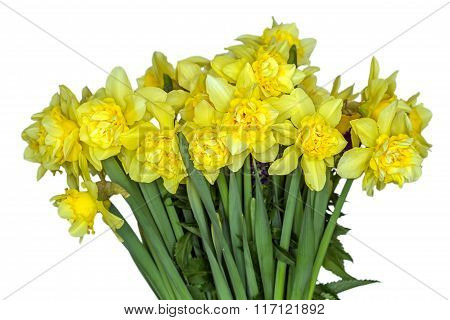 Yellow Narcissus In White