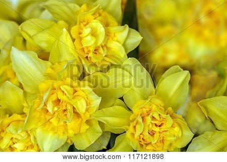 Yellow Narcissus Macro