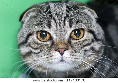 cat Scottish lop-eared