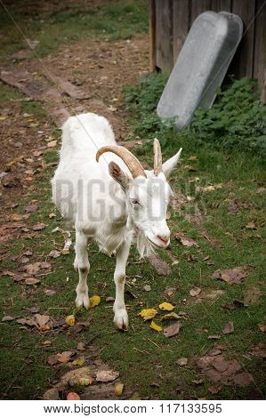 Adult white goat
