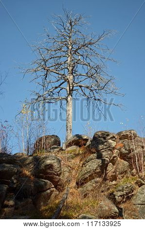 Dry larch on the rocks against the blue sky