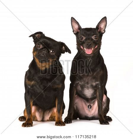 Two toy dogs on white